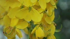 L'albero di doccia dorata fiorisce filtrando l'alta definizione archivi video
