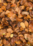 L'albero di faggio dorato lascia su terra nell'autunno Immagini Stock