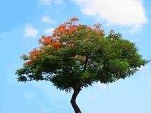 L'albero di fiamma Fotografia Stock Libera da Diritti