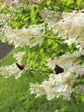 L'albero di fioritura Fotografie Stock Libere da Diritti