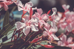 L'albero di fioritura Immagini Stock Libere da Diritti