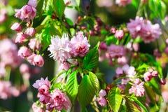 L'albero di fioritura con i fiori rosa in primavera fa il giardinaggio Fotografie Stock Libere da Diritti