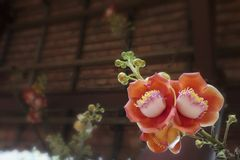 L'albero di fioritura della palla di cannone, questo nome scientifico del ` s del fiore è guianensis di couroupita Fotografia Stock