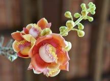 L'albero di fioritura della palla di cannone, questo nome scientifico del ` s del fiore è guianensis di couroupita Immagine Stock Libera da Diritti