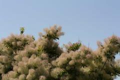 L'albero di fumo tutto il colore è altamente variabile, ma al suo meglio produce le tonalità attraenti della foto gialla, arancio Fotografie Stock Libere da Diritti