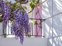 L'albero di glicine in piena fioritura che cresce fuori di un bianco ha dipinto la casa con la porta rosa a Londra fotografia stock