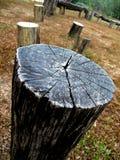 L'albero di gomma Fotografie Stock Libere da Diritti