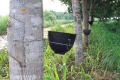 L'albero di gomma, albero di gomma è l'economia delle piante Fotografia Stock