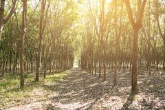 L'albero di gomma/piantagione di gomma Fotografie Stock Libere da Diritti