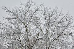 L'albero di inverno in neve dalla Russia Fotografia Stock