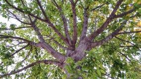L'albero di mille rami immagini stock
