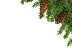 L'albero di Natale si ramifica con i coni isolati su fondo bianco immagini stock