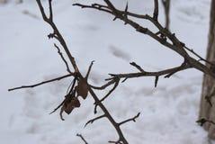 L'albero di olmo germoglia e lascia nell'inverno Immagine Stock Libera da Diritti