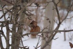 L'albero di olmo germoglia e lascia nell'inverno Fotografia Stock