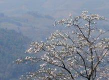 L'albero di orchidea bianco di fioritura o l'albero della farfalla fiorisce il Bauhinia v Fotografia Stock