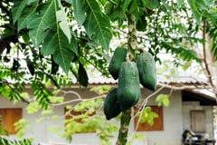 L'albero di papaia con i frutti Fotografie Stock