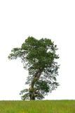 L'albero di quercia fotografia stock libera da diritti