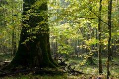 L'albero di quercia gigante si sviluppa fra il hornbeam immagine stock libera da diritti