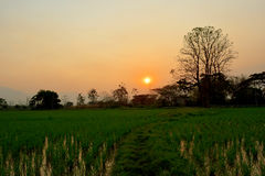 L'albero ed il sole Backlit campo del riso si accendono nel giorno di sera Immagine Stock Libera da Diritti