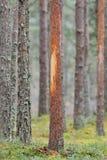 L'albero ha lucidato dalle alci Fotografia Stock