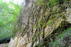 L'albero ingrained nella roccia Fotografie Stock