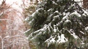 L'albero innevato, neve si trova sui rami di un albero, alberi di Natale nella neve archivi video