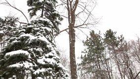 L'albero innevato, neve si trova sui rami di un albero, alberi di Natale nella neve video d archivio
