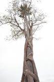 L'albero intreccia l'altro albero Immagine Stock Libera da Diritti