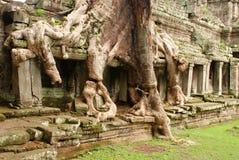 L'albero gigante si pianta, tempio di Preah Kahn, Cambogia immagine stock libera da diritti