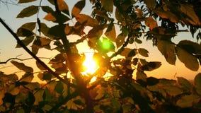L'albero lascia il primo piano sui rami di albero in una foresta contro un fondo del tramonto I raggi del sole attraversano video d archivio