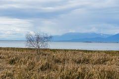 L'albero marrone solo e l'erba asciutta sull'oceano puntellano il cielo nuvoloso Fotografia Stock
