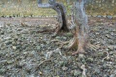 L'albero molto vecchio della mangrovia Fotografia Stock Libera da Diritti