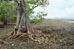 L'albero molto vecchio della mangrovia Immagini Stock Libere da Diritti
