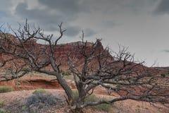 L'albero morto del pignone Immagini Stock