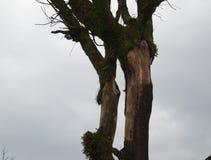 L'albero muscoso Fotografia Stock Libera da Diritti