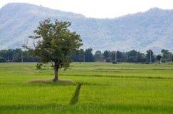 L'albero nel giacimento del riso Immagini Stock Libere da Diritti