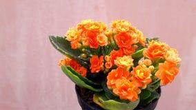 L'albero nel vaso, fiori arancio, decorativi - foglie verdi decorative e belle, adorabili Fotografia Stock