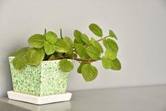 L'albero ornamentale è stato disposto sulla tavola Decorazione interna verde moderna fotografia stock