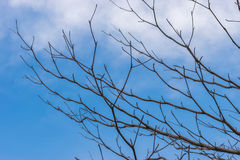 L'albero perenne muore sotto il cielo blu-chiaro, Fotografie Stock