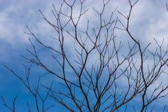 L'albero perenne muore sotto il cielo blu-chiaro, Immagine Stock