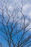 L'albero perenne muore sotto il cielo blu-chiaro, Immagini Stock