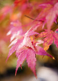 L'albero rosso e giallo lascia su un albero nel fondo di autunno Fotografia Stock Libera da Diritti