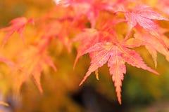 L'albero rosso lascia su un albero nell'autunno Immagini Stock Libere da Diritti