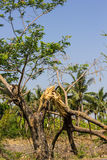 L'albero rotto Fotografia Stock Libera da Diritti