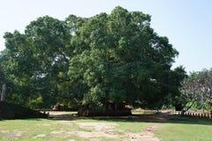 L'albero sacro di Bodhi Fotografie Stock Libere da Diritti