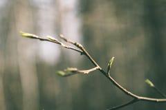 l'albero sboccia ed il primo lascia - lo sguardo verde d'annata Fotografia Stock Libera da Diritti