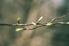 l'albero sboccia ed il primo lascia - lo sguardo verde d'annata Immagine Stock Libera da Diritti