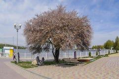 L'albero sbocciante Fotografia Stock