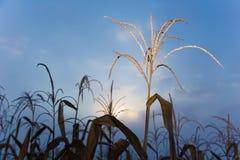 L'albero secco del cereale in cereale ha archivato contro il cielo blu di primo mattino Immagine Stock