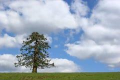 L'albero sempreverde immagine stock